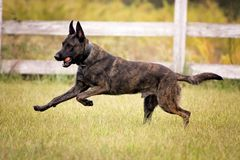 Dutch Shepherd running with a ball Stock Photos