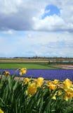 Dutch spring. Field of hyacinths – Dutch spring, plantation in Netherlands stock photos