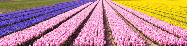 Free Dutch Spring Colourful Hyacinth Field Colorful Panorama Background Stock Images - 70989034