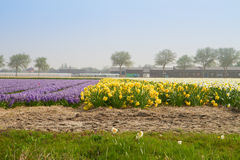 Dutch spring flowers field Royalty Free Stock Image