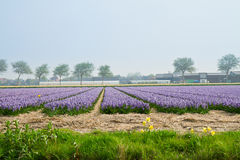 Dutch spring hyacinth flowers field Royalty Free Stock Images