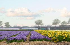 Dutch spring hyacinth flowers field Royalty Free Stock Photography