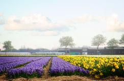 Dutch spring hyacinth flowers field Stock Photo