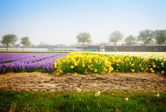 Dutch spring hyacinth flowers field Stock Photography