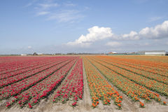 Dutch spring scene. Red and oronge tulips on a sunny dutch day Royalty Free Stock Images