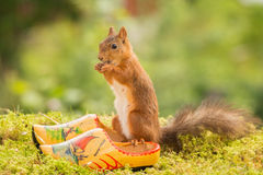 Dutch squirrel Stock Image