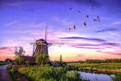 Dutch Sunrise Windmills. Group of gease flying over the backyard of the windmill door gate at the early sunrise morning and the sunny blue hour Stock Photos