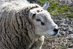 Dutch Texel Ram Sheep Imagens de Stock