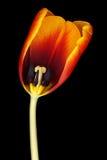 Dutch tulip. Beautiful tulip, isolated on a black background stock photo