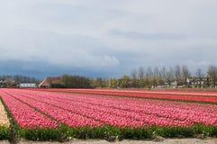 Dutch tulip bulb field Royalty Free Stock Photography