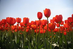 Dutch Tulip field. Tulip field in holland with orange tulips in sporingtime stock images