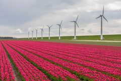 Dutch tulip field with a long row of wind turbines Stock Images