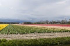 Dutch tulip field Royalty Free Stock Photography
