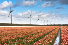 Dutch tulip field after a rain shower Royalty Free Stock Photography