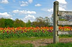 Dutch tulip field Stock Photography