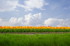 Dutch tulip field in sunny day Stock Images