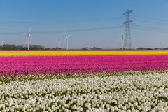 Dutch tulip field with wind turbines and power pylon Stock Photography