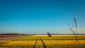 Dutch tulip field with yellow tulips under a bright blue evening sky royalty free stock photo