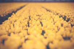 Dutch tulip field with yellow tulips in vintage style Royalty Free Stock Image
