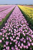 Dutch Tulip fields Stock Photo
