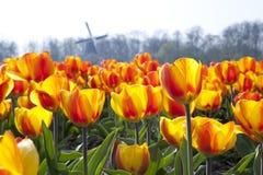 Dutch Tulip fields Stock Images