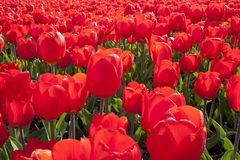 Dutch Tulip fields Royalty Free Stock Photography