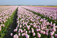 Dutch Tulip fields Royalty Free Stock Photos