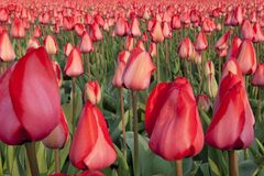 Dutch Tulip fields Royalty Free Stock Images