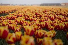 Dutch tulip fields with flowers Stock Image