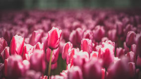 Dutch tulip fields with highlighted tulips Stock Images