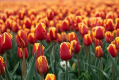 Dutch Tulip Fields in the Spring Sun stock image