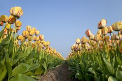 Dutch Tulip fields in springtime Royalty Free Stock Image