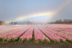 Dutch Tulip fields in springtime Stock Photo