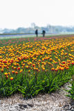 Dutch tulip fields with workers in the background Royalty Free Stock Photography