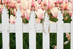 Dutch Tulip Garden Royalty Free Stock Photo