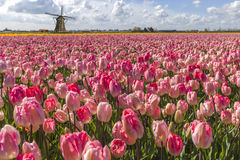 Dutch Tulip Windmill Landscape royalty free stock images