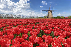 Dutch Tulip Windmill Landscape. Dutch landscape with red tulips and the windmill Stock Photography