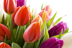 Dutch tulips Stock Images
