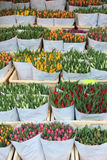Dutch Tulips Stock Image