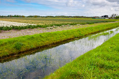 Dutch Tulips Stock Image