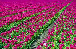 Dutch Tulips Stock Photography
