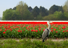 Dutch tulips field with Grey Heron Royalty Free Stock Images