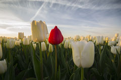 White tulip field II Royalty Free Stock Image
