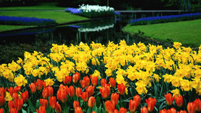 Dutch tulips and narcisses. FIELD OF orange tulips amd narcisses Royalty Free Stock Images