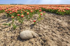 Dutch tulips struggle due to drought due to global warming and climate change. At the flower fields, Flevoland, Holland stock photos