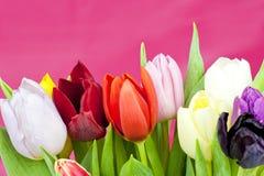 Dutch Tulips on violet background Stock Photo