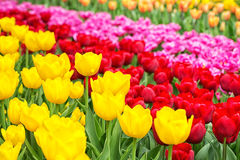 Dutch tulips in yellow, red and pink Stock Photography