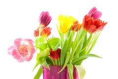 Dutch tulpis in closeup Stock Photography