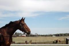Dutch Warmblood mare profile. Dutch warmblood mare looks over a pen of horses Stock Photos