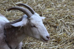 Dutch white goat Royalty Free Stock Image